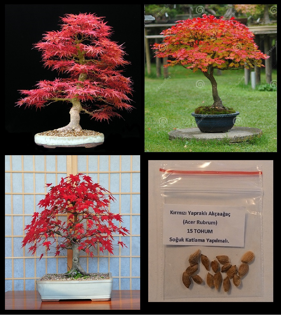Tohum sat bonsai sanat - Arce rubrum bonsai ...